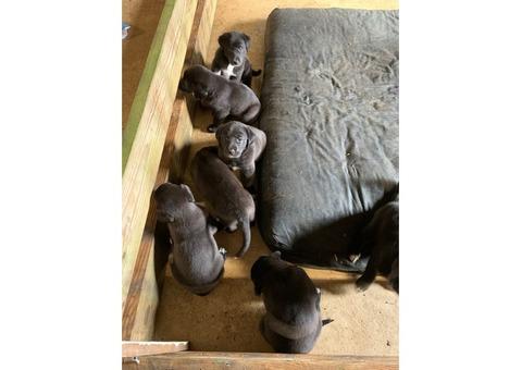 Free half Labrador and Pyrenees mix puppies